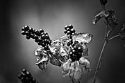 Gone To Seed Blackberry Lily Print by Teresa Mucha