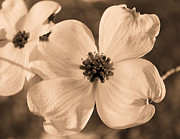 Dogwood Blossom Metal Prints - Good Friday Metal Print by Kristin Elmquist