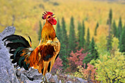 Roosters Photos - Good Morning America by Christine Till