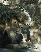 Lion Art - Good Morning by Ernie Echols