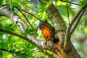 Squirrel Prints Photo Prints - Good Morning World Print by Ester  Rogers