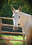 Mule Photos - Good OL Bob by Pamela Baker
