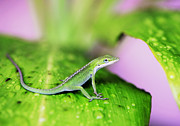 Lizards Photos - Good to Be Green by Marilyn Hunt