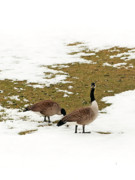 All - Goose Gathering by Mandy Wiltse