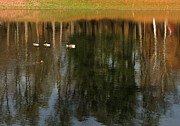 Foliage Photographs Prints - Goose Goose Duck Goose Print by Trish Hale