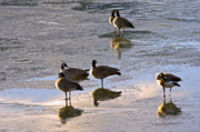 Pictures Photo Originals - Goose Ice Refections by James Steele