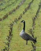 Honk Prints - Goose in Field Print by Bill Kellett