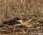 Canadian Goose Prints - Goose Nesting Print by Thomas Young
