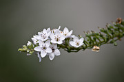 Gooseneck Loosestrife Photos - Gooseneck Loosestrife II by Michael Friedman