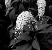 Gooseneck Loosestrife Photos - Gooseneck Loosestrife by Michael Friedman
