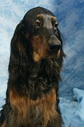 Gordon Setter Art Posters - Gordon Setter 389 Poster by Larry Matthews