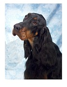 Gordon Setter Prints - Gordon Setter 529 Print by Larry Matthews