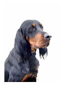 Gordon Setter Art Posters - Gordon Setter 763 Poster by Larry Matthews