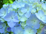 Blue Flowers Photos - Gorgeous Blue Colorful Floral art Hydrangea Flowers Baslee Troutman by Baslee Troutman Fine Art Prints
