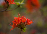 Rhododendron Photos - Gorgeous Cluster by Mike Reid