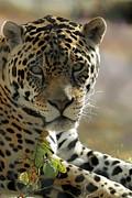 Gorgeous Jaguar Print by Sabrina L Ryan