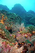 Gorgonian Fans And Cup Coral On Rocky Seabed Print by Sami Sarkis