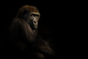 Animus Photography Prints - Gorilla Print by Animus Photography