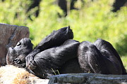 Primates Photos - Gorilla Basking In The Sun . 40D9890 by Wingsdomain Art and Photography