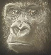 Expressions Drawings - Gorilla by Catherine Eager