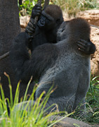 African Saint Posters - Gorilla Embrace Poster by Chris  Brewington Photography LLC