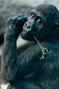 Portrait With Mountain Framed Prints - Gorilla has a snack Framed Print by Andrew  Michael