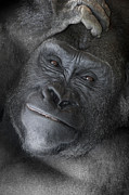 Portraits Pyrography - Gorilla  by Jeff Grabert
