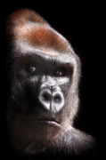Wildlife Photograph Art - Gorilla ... Kouillou by Stephie Butler