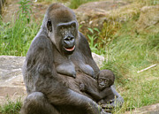Gorilla Framed Prints - Gorilla Mother and Baby Framed Print by Julie L Hoddinott
