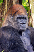 Gorilla Posing Print by Joe Myeress