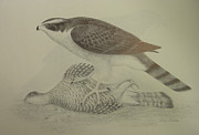 Falcon Mixed Media Originals - Goshawk with prey by Alan Suliber