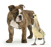 Greylag Prints - Gosling And Bulldog Pup Print by Mark Taylor