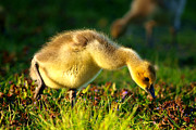 Geese Digital Art Prints - Gosling In Spring Print by Paul Ge