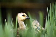 Wild Photos - Gosling in the grass by Joseph Rossi