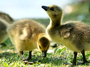 Fluffy Chicks Posters - Goslings 6 Poster by Sharon  Talson