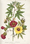 Levant Posters - Gossypium Flowers, 19th Century Poster by King