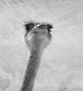 Ostrich Photo Metal Prints - Got Chocolate? Metal Print by Diane Schuster