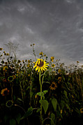 Dark Clouds Photos - Goth Sunflower by Peter Tellone