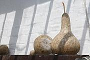 Heligan Photos - Gourds in Shadow by Lauri Novak