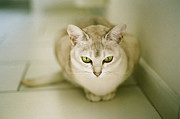 Staring Cat Photos - Grace by Ines Amd