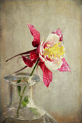 Wild Red Columbine Art - Graceful by Darren Fisher
