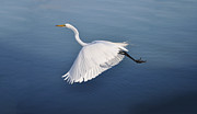 Graceful Digital Art - Graceful Flying Egret by Bill Cannon