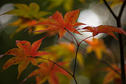 Red Maple Leaves Framed Prints - Graceful Layers Framed Print by Mike Reid