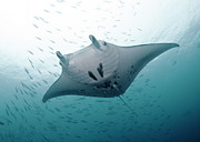 Undersea Prints - Graceful Manta Print by Wendy A. Capili