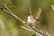 Graceful Animals Posters - Graceful Prinia Poster by Photostock-israel
