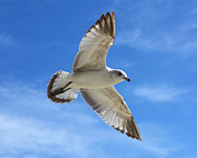 Flying Seagull Originals - Graceful Seagull by Sheila Kay McIntyre