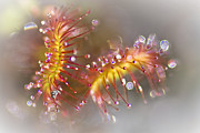 Wild Plant Photo Acrylic Prints - Graceful Sundew Acrylic Print by Heiko Koehrer-Wagner