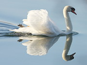 Water Reflection Prints - Graceful Swan Print by Andrew Steele