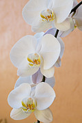Orchids Art Print Framed Prints - Graceful White Orchids Framed Print by Carmen Del Valle
