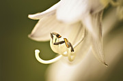 Stamen Digital Art Prints - Gracefully Aging Print by Julie Palencia